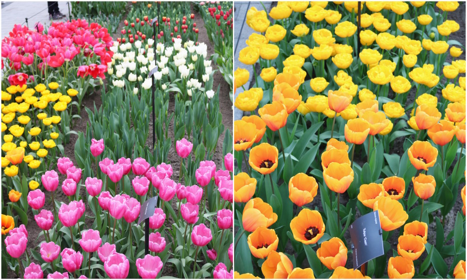 Easter at Keukenhof Tulip Festival3